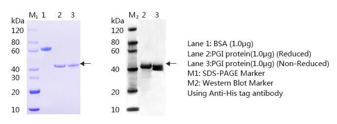 Pepsinogen I SDS page and WB - Anti-Pepsinogen I (Pepsinogen I, PG I, Zymogen of pepsin CAS 9001-10-9) antibody