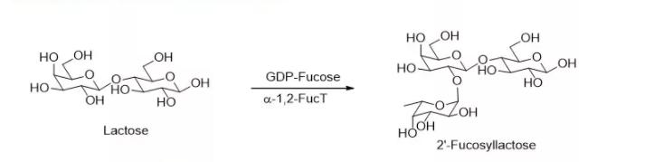alpha1 2 fucosyltransferase alpha1 2FucT CAS 56093 23 3 EC 2.4.1.69 - alpha1, 2-fucosyltransferase; alpha1, 2FucT CAS 56093-23-3 EC 2.4.1.69